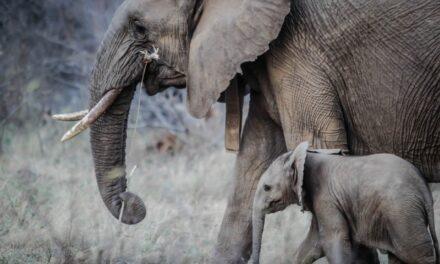 Describe an Elephant !!